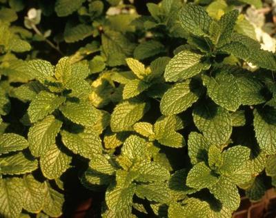 Herb Mint Chocolate